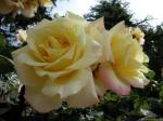 rosegrandmere